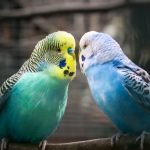 Types of Parakeets