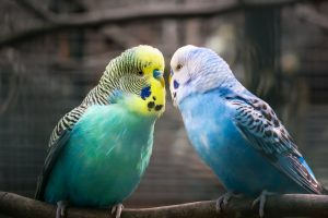 type of parakeets