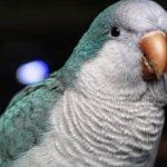The Blue Quaker Parrot