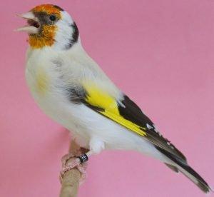 Jilguero albino: Todo lo que debes saber de estas aves.