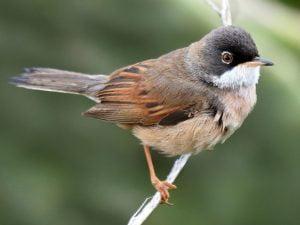 Curruca tomillera: Todo lo que debes saber de estas aves