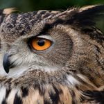 Meaning of the owl: from its song, its tattoos, as an amulet, and more.