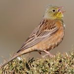 Corn Bunting: Everything you need to know about these birds