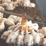 What is the feeding of poultry: look at this food balance sheet