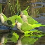 Monk Parakeet: Everything you should know.