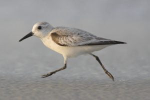 ¿Quieres saber todo sobre el ave calidris alba? Descúbrelo aquí