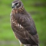 Learn All About Circus Cyaneus, the Hen Harrier
