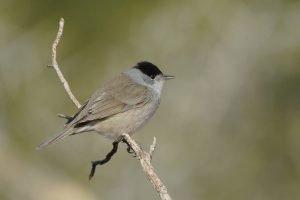 Curruca capirotada: Todo lo que debes saber de estas aves