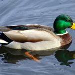 Feeding of ducks, a bird very dear to us all
