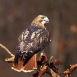 Learn all about the red-tailed hawk, a large bird.