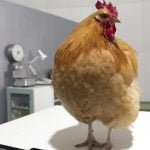 Do you want to know all about Fowl Pox? find out everything here