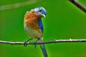 attract bluebird