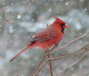 attract cardinals