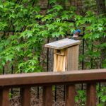 How to attract Bluebirds