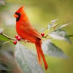 How to attract Cardinals