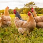 Coccidiosis in poultry, learn everything you didn't know about this disease