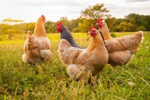 Coccidiosis en aves, conoce todo lo que no sabías sobre esta enfermedad