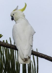 smart cockatoo