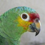 Characteristics of the parrot and its amusing behavior