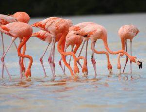 alimentacion del flamenco hermosa ave de color rosa