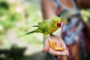 Como alimentar a un loro sanamente en 8 increíbles ideas balanceadas