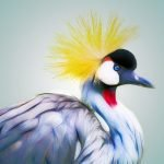 Grus grus, what you didn't know about the common crane
