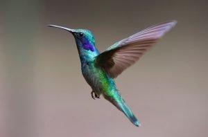hummingbird as a pet