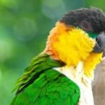 Find out all about the caiques, a South American bird