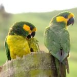 Yellow-eared Parrot: Characteristics, Feeding, Reproduction and more