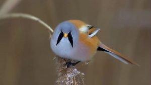 Bigotudo: Todo lo que debes saber de estas aves