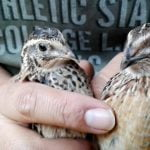 Correct Feeding for Quail very Healthy and rich in Nutrients