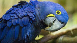 caracteristicas fisicas del arara azul una bella ave en peligro de extinción