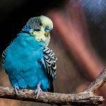 Parakeet genders – How to sex a parakeet
