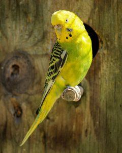 How to sex a parakeet
