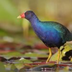 Learn All About Rallidae, A Family Of Birds