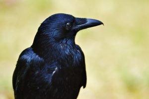raven vs crow