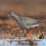 Learn All About Scolopacidae, A Family Of Birds