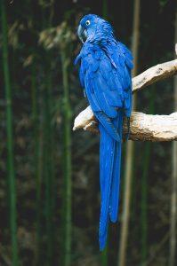 eclectus largest parrot