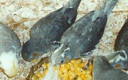 Weaning Baby Cockatiels