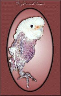 venus goffins cockatoo