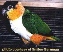 Those Colorful, Clownish Caiques! (Parrots)