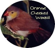 orange cheeked waxbill finch