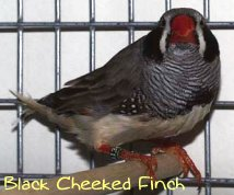 zebra black cheeked finch