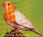 orange breasted zebra finch