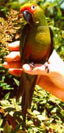 The Golden-capped Conure