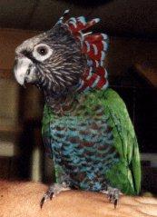 Hawk-headed Parrots - Small, Beautiful & Affectionate!