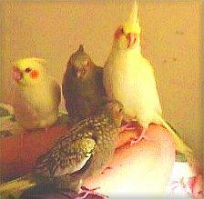 The Responsible Breeding Of Cockatiels Part II: Incubation