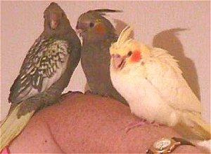 The Responsible Breeding Of Cockatiels: Part I