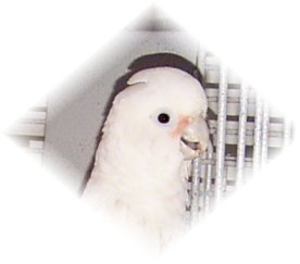 The Gregarious Goffin's Cockatoo