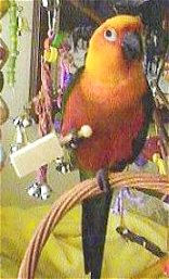 Angel, The Jenday Conure